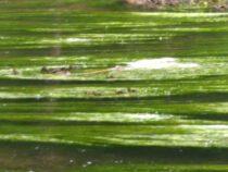 Wasserpflanzen-Foto-I-Kolbeck